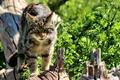 Картинка взгляд, морда, дикая кошка, Шотландская, The Scottish Wildcat