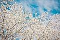 Картинка небо, облака, деревья, ветки, весна, сакура