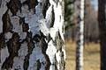 Картинка дерево, береза, кора, россия