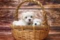 Картинка dogs, lumber, puppy, white fur, twins, white, maltese dogs, puppies, fur, basket, timber, wicker, pet, ...
