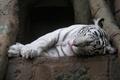Картинка спит, белый тигр, Tiger