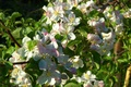 Картинка яблоня, макро, Spring, цветение, Flowering trees, Malus, весна