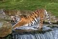 Картинка полоски, поза, водопад, хищник, пасть, клыки, дикая кошка, зевает, зоопарк, амурский тигр, потягивается, разминка