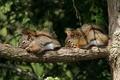 Картинка ветка, спят, пара, дерево, грызуны, бурундуки, сон, белки