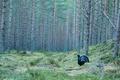 Картинка сосны, глухарь, лес, птица, поляна