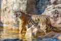 Картинка язык, полоски, тигр, поза, хищник, купание, красавица, клыки, оскал, дикая кошка, тигрица, гримаса, зоопарк, водоём