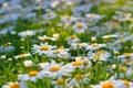 Картинка лето, природа, ромашки, цветы, поляна