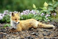 Картинка Wallpaper, Flowers, Animals, Nature, Brown Fox