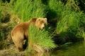 Картинка лес, трава, вода, природа, камыши, медведь, бурый