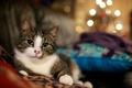 Картинка кошка, cats wallpapers, обои с кошками, огоньки