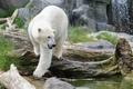 Картинка полярный медведь, хищник, зоопарк, белый медведь