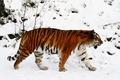 Картинка Тигр, снег, тайга, зима