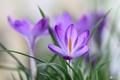 Картинка трава, крокус, лепестки, весна, макро