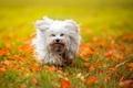 Картинка собака, Гаванский бишон, лохматая, осень, листья