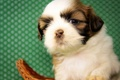 Картинка собака, малыш, щенок, Ши-тцу
