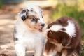 Картинка малыши, поцелуй, парочка, собаки, щенки