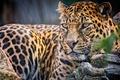 Картинка леопард, взгляд, хищник