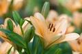 Картинка макро, лилия, персиковый