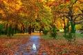 Картинка dog, собачка, тропинка, autumn, деревья, Вест-хайленд-уайт-терьер, park, осень, листопад, аллея, Nature, trees, path, листья, fall, ...