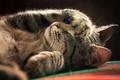 Картинка кошка, лапа, кот