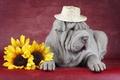 Картинка собака, Шарпеи, друг