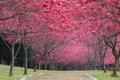Картинка парк, вишня, Cherry Blossoms, Япония, листья, цветение, sakura, весна