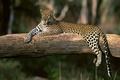 Картинка хищник, леопард, дикая кошка, большая кошка