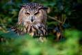 Картинка взгляд, сова, птица, филин