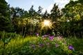 Картинка цветы, солнце, вечер, лес
