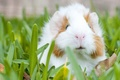 Картинка трава, морская свинка, грызун