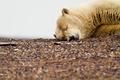 Картинка белый, галька, грязный, отдых, медведь, мишка, спит, глобальное потипление