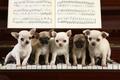 Картинка Щенки, рояль, клавиши, ноты, игра