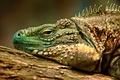 Картинка HDR, ящерица, игуана