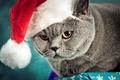 Картинка кошка, новогодняя, шапочка, серый, шапка, британец, серьезный, британский, кот