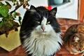 Картинка котя, взгляд, пушистый, кот, котэ