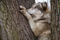 Картинка морда, дерево, волк, хищник, лапы, ствол, кора