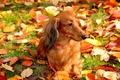 Картинка Собака, листья, осень, прогулка