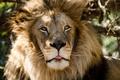 Картинка грива, хищник, лев, морда, дикая кошка, язык