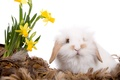 Картинка цветы, перья, нарцисс, кролик