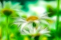 Картинка цветы, природа, лепестки, ромашка