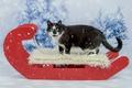 Картинка кот, черный, новый год, ели, мех, рождество, снег, зима, фон, снегопад, сани, красный, взгляд, кошка